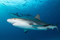 Caribbean Reef Sharks cruise the water column<br /> <br /> Shot in Bahamas