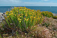 GOLDEN SAMPHIRE Inula crithmoides (Asteraceae) Height less than 75cm. Attractive, tufted and upright perennial that grows on saltmarshes, coastal shingle and sea cliffs. FLOWERS are borne in heads, 15-30mm across with spreading, yellow ray florets and orange-yellow central disc florets; arranged in terminal clusters (Jul-Sep). FRUITS are achenes. LEAVES are bright green, narrow and fleshy.