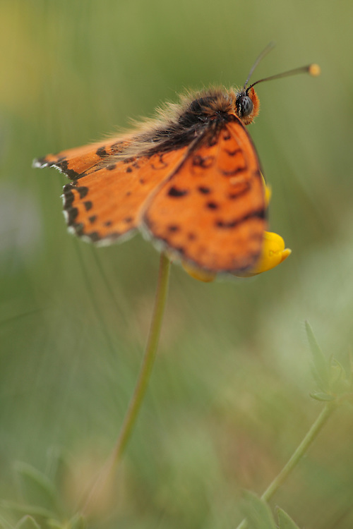 Spotted Fritillary butterfly, Melitaea didyma, on Trefoil, Lotus sp..<br /> Mountain pasture, Mount Baba (1635 m) in Galicica National Park. Stenje region, Lake Macro Prespa (850m) <br /> Galicica National Park, Macedonia, June 2009<br /> Mission: Macedonia, Lake Macro Prespa /  Lake Ohrid, Transnational Park<br /> David Maitland / Wild Wonders of Europe