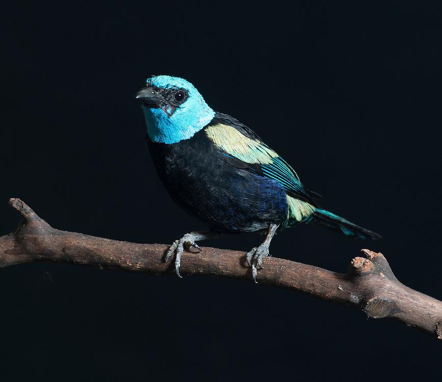 Blue Necked Tanager, (Tangara cyanicollis); Captive; credit: Pandemonium Aviaries/M.D.Kern