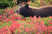 Black Bear cub (Ursus americanus) in a huckleberry patch in autumn color in Mount Rainier National Park, Washington, USA