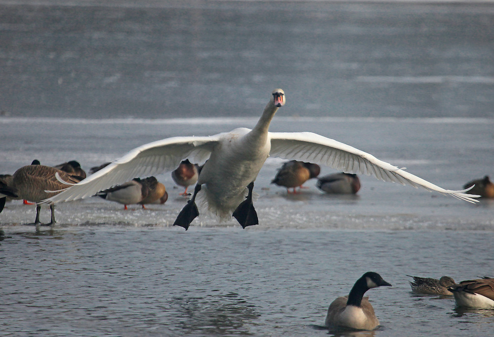 Swans are among the worst of flyers, at least when landing.