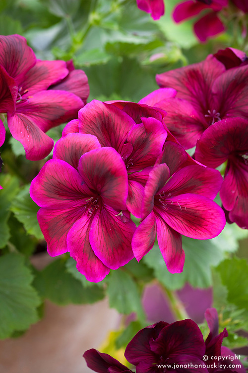 Regal Pelargonium 'Aldwyck' AGM