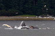 Humpback whales at Morris Reef at the mouth of Peril Straight, where Baranof and Chichagof Island, Alaska