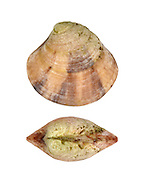 Banded Venus - Clausinella fasciata Length to 10mm. Small, robust bivalve mollusc. Lives in sand, mainly sublittoral. In Britain, commonest in W and N.