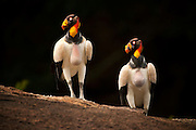 King Vulture (Sarcoramphus papa)<br /> Rainforest<br /> Rewa River<br /> GUYANA. South America<br /> RANGE: Central & South America