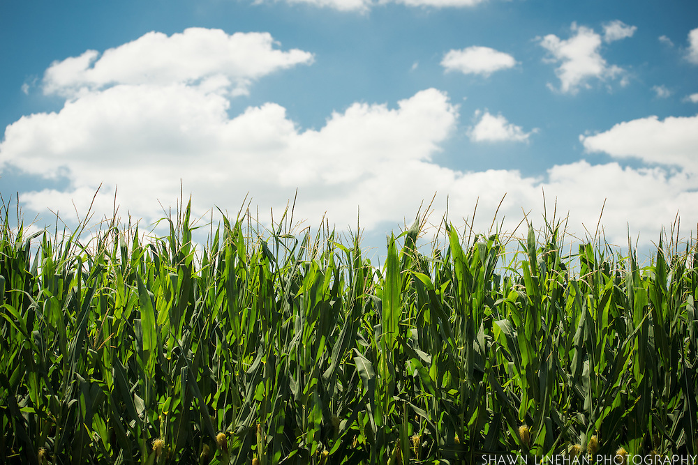 Feed corn at the University of Wisconsin Madison is grown for research and to feed livestock.