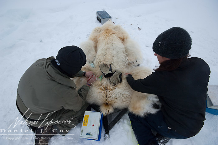 Geoff York, a USGS biologist and Karyn Rhode, a research assistant, collecting data from a polar bear (Ursus maritimus) on the Beaufort Sea ice. Kaktovik, Alaska.