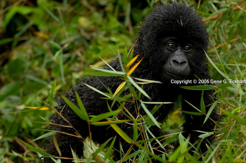 Mountain Gorilla (Gorilla beringei beringei) <br /> Virunga Volcanoes - Parc National des Volcans, Rwanda <br /> <br /> The infant Dusangire from Group 13 stretches his legs and ventures out after a sudden rainstorm in Parc National des Volcans, Rwanda.