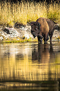 A bison standing in the Madison River.