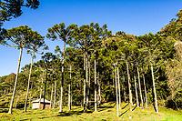 Araucárias (Araucaria angustifolia). Urubici, Santa Catarina, Brasil. / Araucaria pine trees (Araucaria angustifolia). Urubici, Santa Catarina, Brazil.