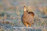 00842-03705 Greater Prairie-Chicken (Tympanuchus cupido) male booming/displaying on lek Prairie Ridge State Natural Area Jasper Co, IL
