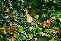 Female Bullock's Oriole (Icterus bullockii) searching for grubs and insects in a tree, Jocotopec, Jalisco, Mexico