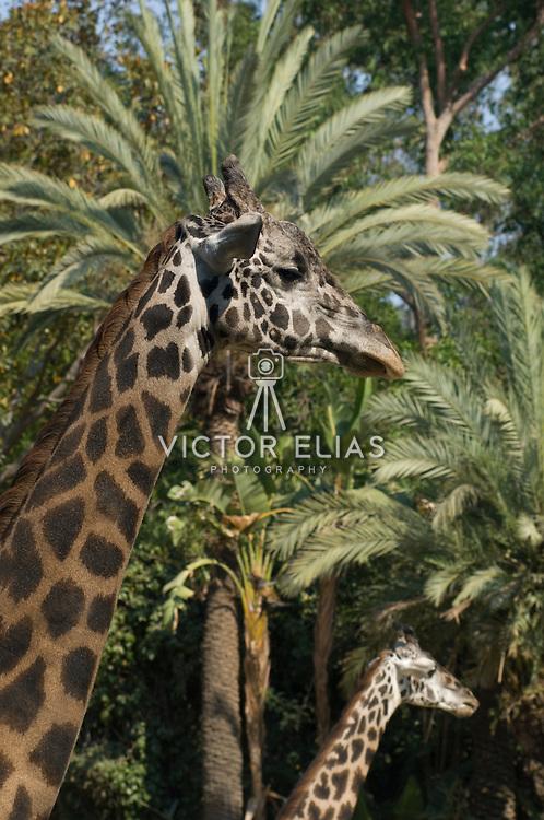 Giraffe. Los Angeles Zoo. CA.USA.