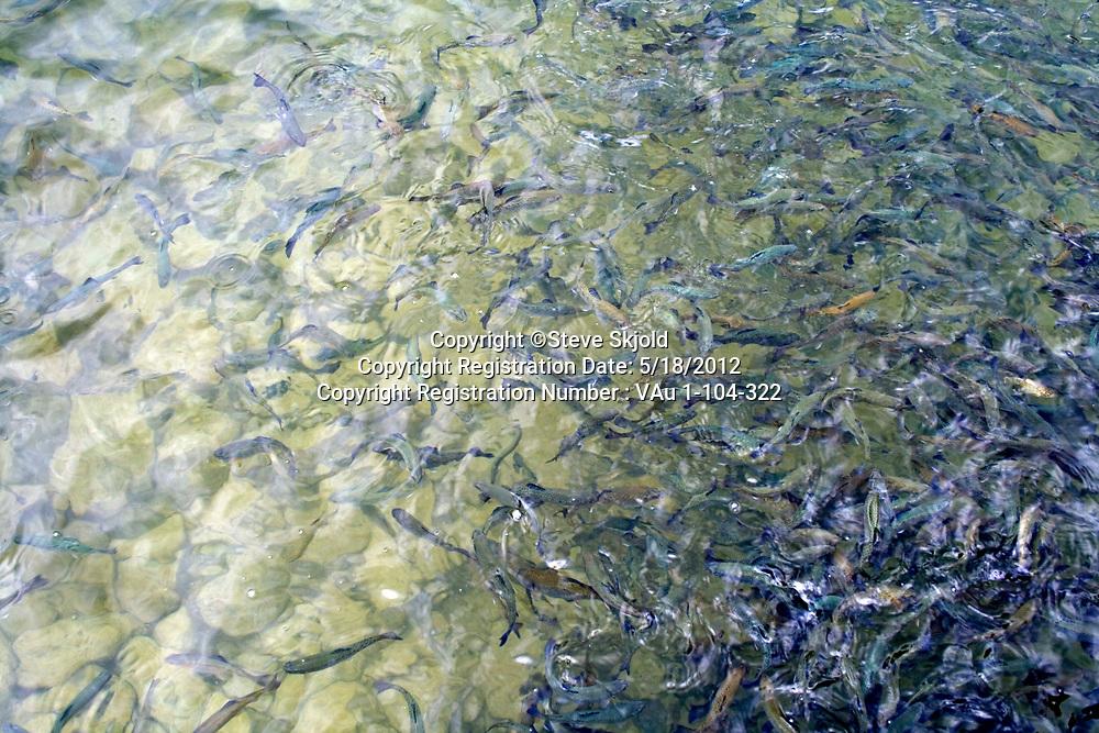 Lanesboro State Fish Hatchery for trout. School of hungry rainbow trout fingerlings. Lanesboro Minnesota MN USA