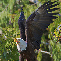 A Bald Eagle (Haliaeetus leucocephalus) with a meal of octopus near Rodger's Fishing Lodge at Port Eliza Inlet, BC.