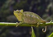 von Höhnel's Chameleon, Chamaeleo hoehneli, from Kenya.