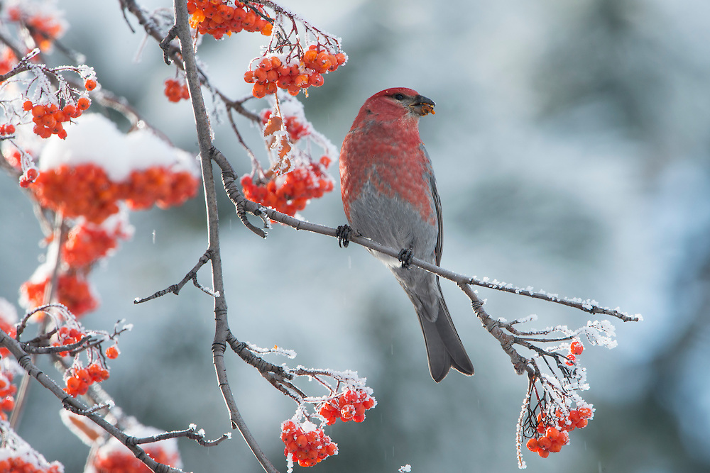 A male pine grosbeak (Pinicola enucleator) on a mountain ash tree during winter, Missoula, Montana