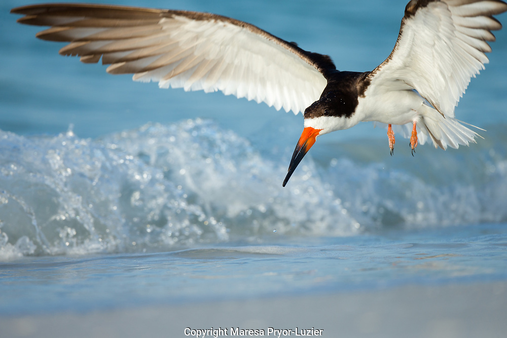 Black Skimmer coming in for a landing, Rynchops niger, Gulf of Mexico, Florida