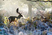 © Licensed to London News Pictures. 02/11/2016. Richmond, UK. Deer warm up in the early morning sunshine in a forest glade.  Deer in the frost in Richmond Park London today 2nd November 2016. much of the country experienced a frost overnight. Photo credit : Stephen Simpson/LNP