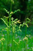 ADFWPA New growth of bracken fronds in deciduous woods in spring