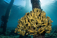 Hard Corals thrive on the piling of a lighthouse<br /> <br /> Shot in Indonesia