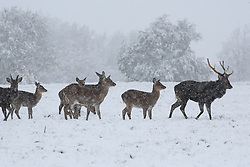 © Licensed to London News Pictures. 09/11/2016. Ripon, UK. Sika deer walk in the heavy snowfall at Fountains Abbey near Ripon in North Yorkshire. The Met Office has issued a severe weather warning as Scotland and much of the North of England has seen heavy snowfall. Photo credit : Ian Hinchliffe/LNP
