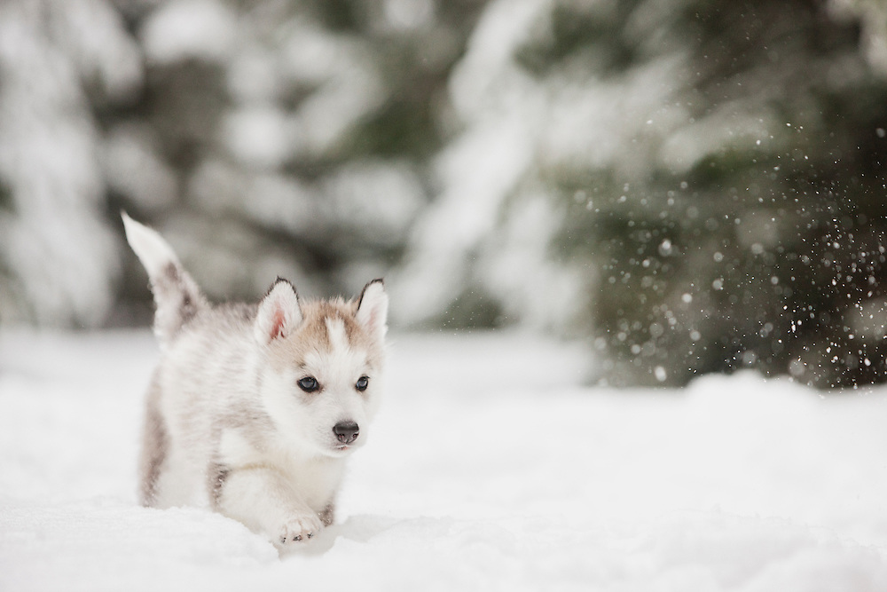 Siberian Husky Puppy Walking In The Snow Lisa J Godfrey