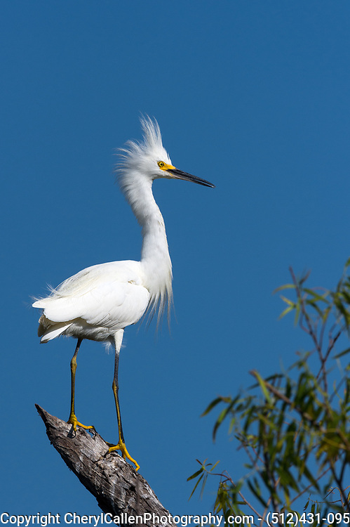 Snowy Egret perched on a tree limb