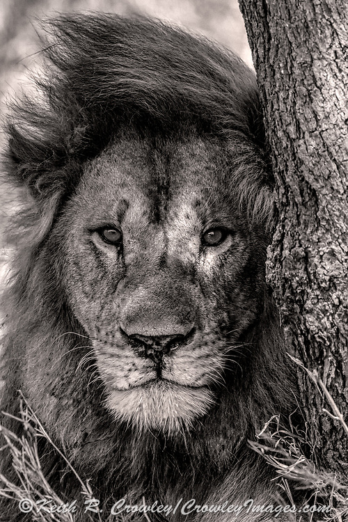 Male lion in African habitat