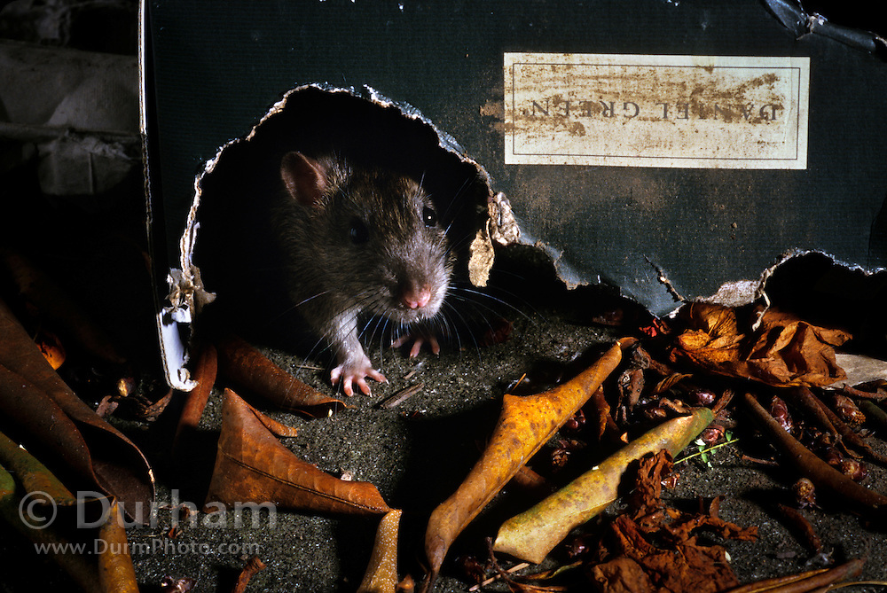 A brown rat (Rattus norvegicus) peaking from refuse near a garbage dumpster. Portland, Oregon These rats are not native, but are european in origin and have followed human settlements around the world. Captive illustration.