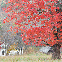 Beautiful red colored maple tree in Cades Cove visitors area. Great Smoky Mountains National Park, Tennessee