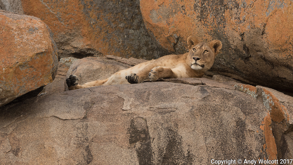 A lioness naps on a kopje in the Serenget.