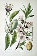 Common or Sweet Almond ( Amygdalus commonus or Prunus Dulcis) small deciduous tree widely grown for the kernel of its fruit.    From Amedee Masclef 'Atlas des Plantes de France', Paris, 1893.