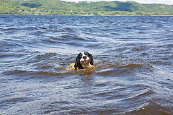 Bernese Mountain Dog Swimming with her Ruffwear Lifejacket, K9 Float Coat in Lake Pepin on the Mississippi River in Lake City, MN