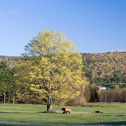 A maple tree in spring on a farm in Littleton, New Hampshire.  Near the Connecticut River.