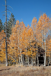 """""""Shack in the Aspen"""" - This old shack and yellow aspen were photographed in the fall, near the Hwy 267 summit between Truckee and Lake Tahoe."""