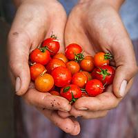 Freshly harvested cherry tomatoes in the gardener's hands.