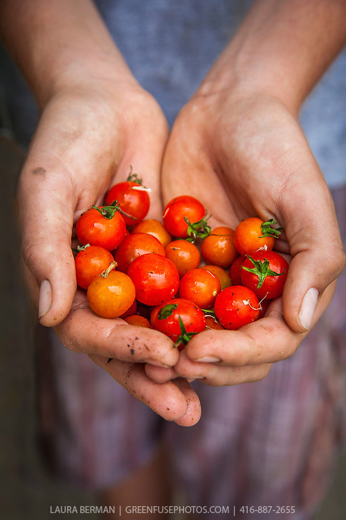 Freshly harvested cherry tomatoes in the gardener's hands.
