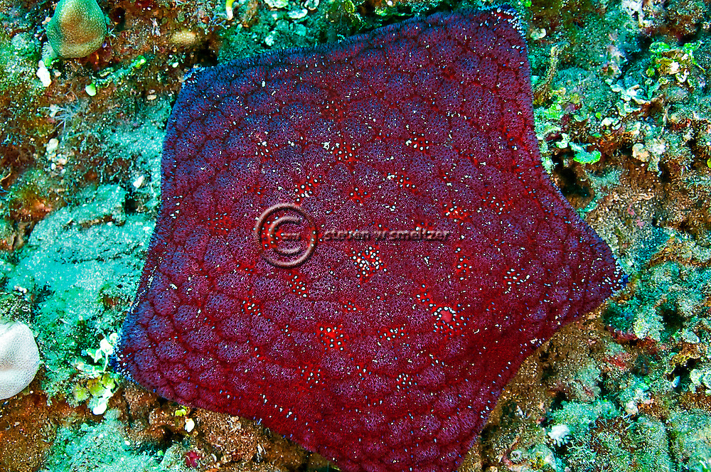Cushion Starfish, Culcita novaeguineae, off coast of Kihei, Maui Hawaii