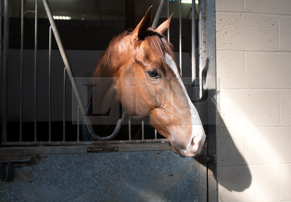 © Licensed to London News Pictures. 22/03/2014<br /> <br /> Middleham, North Yorkshire<br /> <br /> A race horse waits in its stall at the Mark Johnston stables in Middleham, North Yorkshire. Race horses have been trained in Middleham for over 200 years using the extensive gallops on the high moor. There are currently 15 stables based around the small Yorkshire village.<br /> <br /> Photo credit : Ian Forsyth/LNP