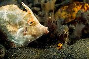 Arglos nähert sich ein Fisch dem regungslos lauernden Fangschreckenkrebs (Lysiosquilloides mapia). | Mantis Shrimp (Lysiosquilloides mapia)
