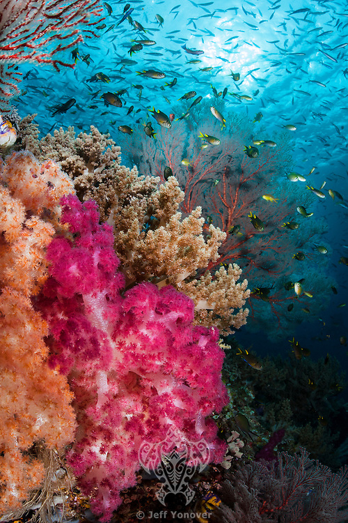 Damsels and Soft Corals<br /> <br /> Shot in Indonesia