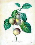 19th-century hand painted Engraving illustration of plums on a tree by Pierre-Joseph Redoute. Published in Choix Des Plus Belles Fleurs, Paris (1827). by Redouté, Pierre Joseph, 1759-1840.; Chapuis, Jean Baptiste.; Ernest Panckoucke.; Langois, Dr.; Bessin, R.; Victor, fl. ca. 1820-1850.