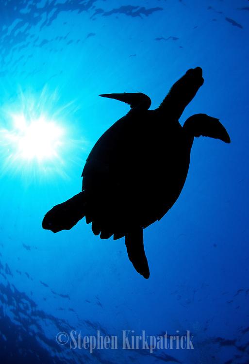 Green Sea Turtle silhouette overhead - Maui