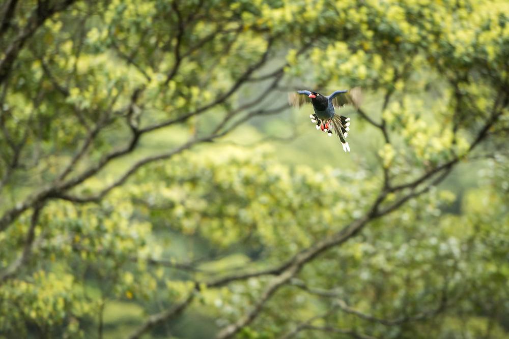 Wulai, Formosan Blue Magpie