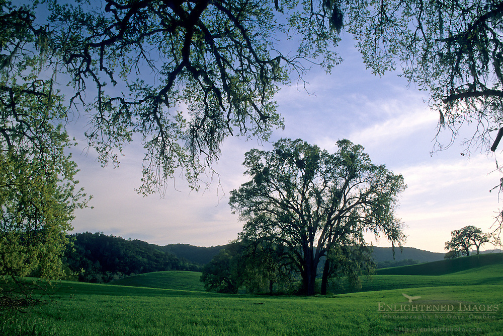 Oak tree in green grass pasture at sunset, Vineyard Drive, Paso Robles San Luis Obispo County, California