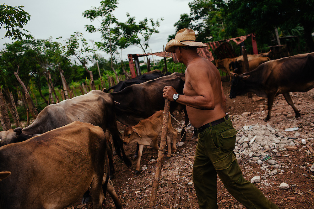 A farmer wearing his old National Service military uniform, tends to his cattle, Remedios, Cuba