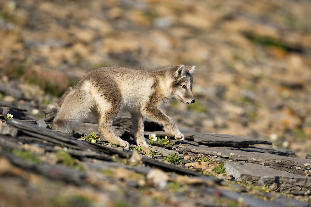 Norway, Svalbard, Edgeoya Island, Arctic Fox (Vulpes lagopus) Kit walking on hillside along Diskobukta Bay