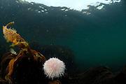 edible sea urchin / common sea urchin (Echinus esculentus) (dt. Essbarer Seeigel)